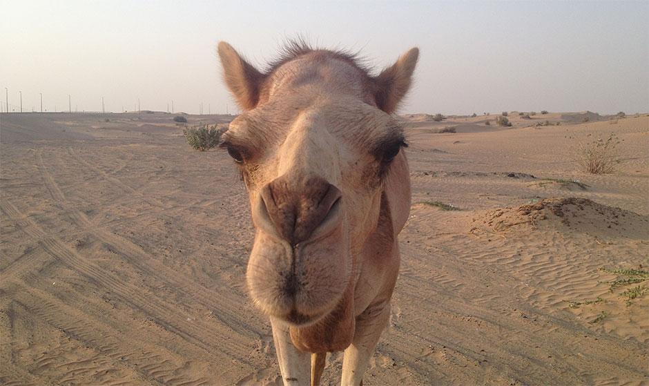 kamel-in-dubai