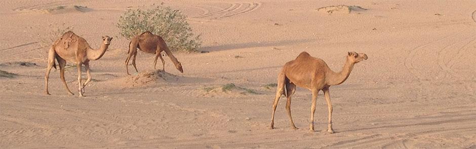 kamele-in-der-wueste-dubai