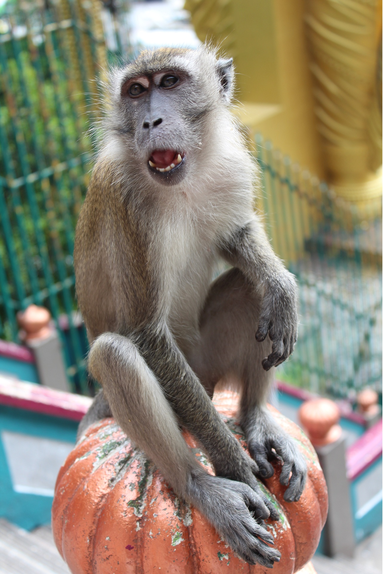 Zähne vom Affen - Batu Caves