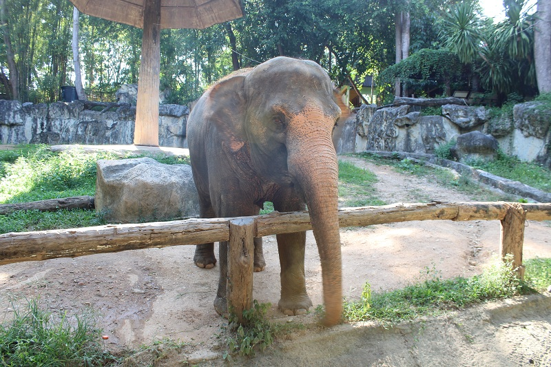 Chiang Mai Zoo - Elefant