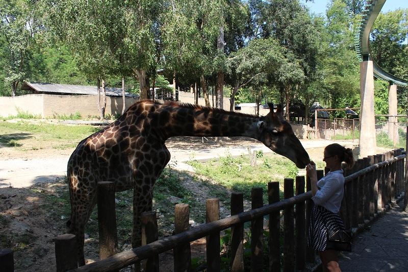 Giraffe im Zoo Chiang Mai