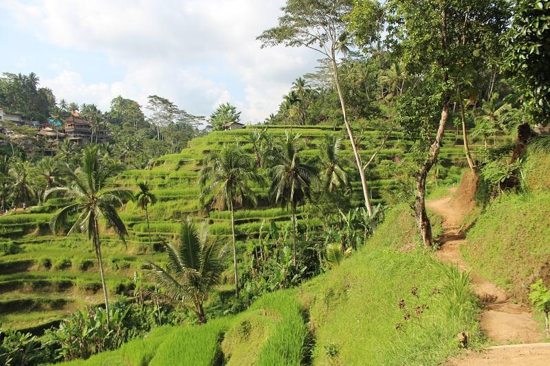 Feldweg entlang der Reisfelder