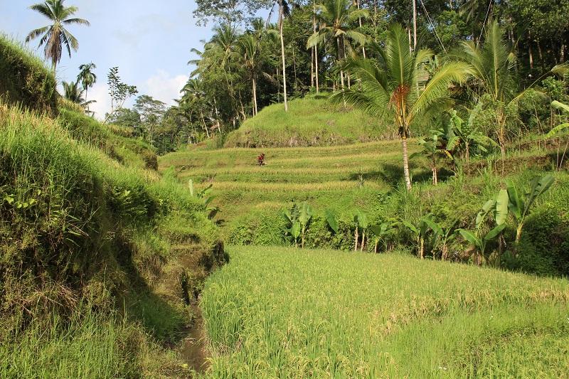 Reisfelder - Ubud