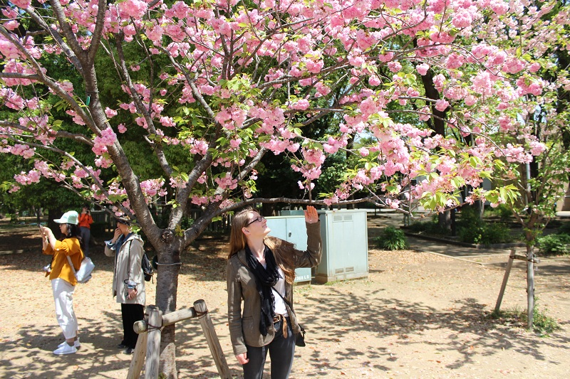 Kirschblüte im Ueno Park