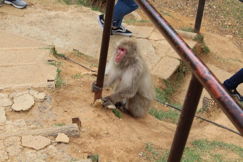 Arashiyama - Affe im Affenpark