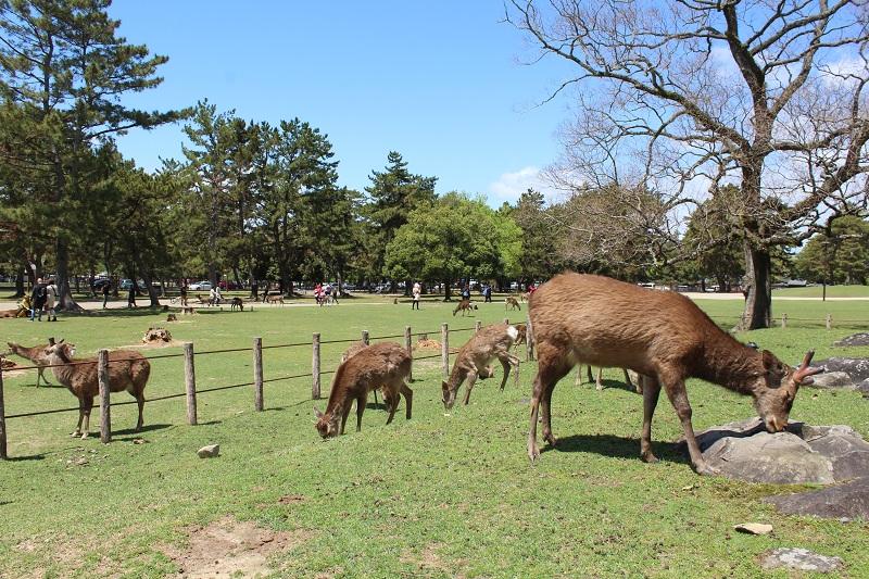 Hirsche - Nara Park